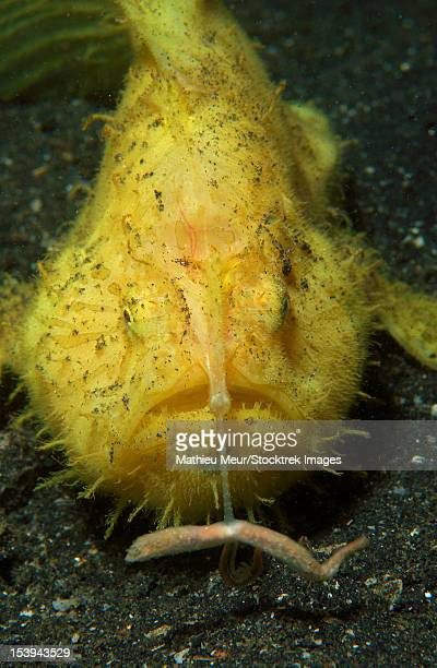 Yellow frogfish hunting, fishing rod extended, Lembeh Strait, North Sulawesi, Indonesia.