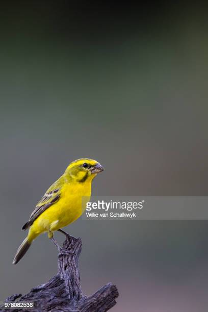 yellow fronted canary (crithagra mozambicus) perching on branch, kgalagadi, botswana - yellow perch stock photos and pictures