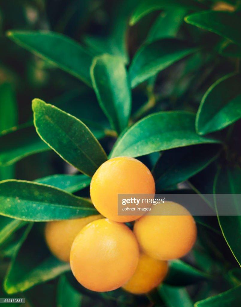Yellow fruit on twig : Stock Photo