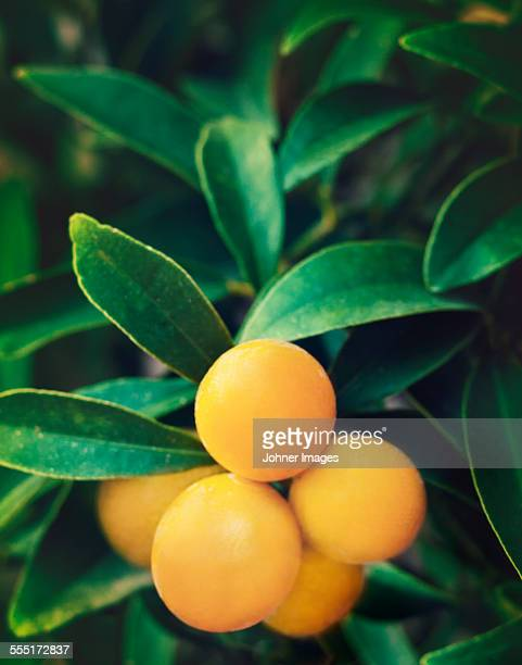 yellow fruit on twig - orange orchard stock photos and pictures