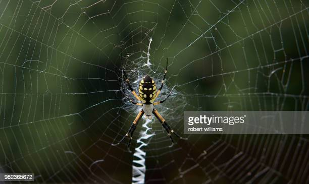 A Yellow Garden Spider (Argiope Aurantia) in a web