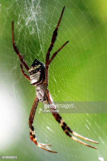 Yellow garden spider (Argiope aurantia) on spiderweb