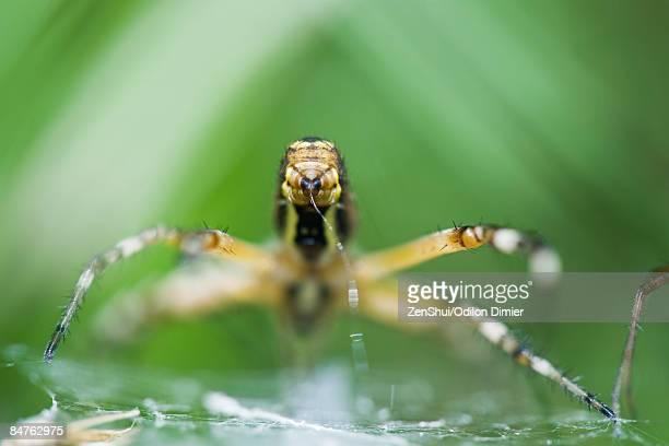 Yellow Garden Spider (argiope aurantia) spinning web, focus on spinneret