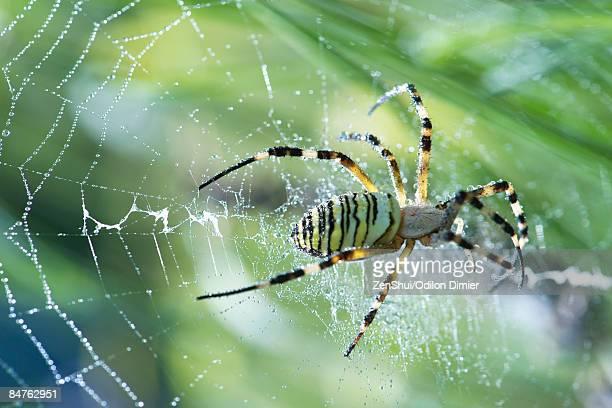 Yellow Garden Spider (argiope aurantia) spinning web