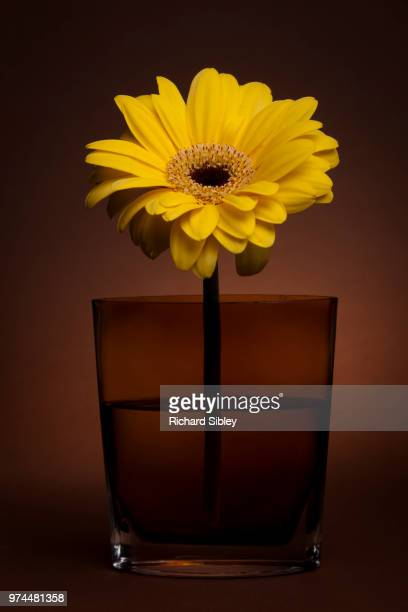 yellow gebera - sibley stock photos and pictures