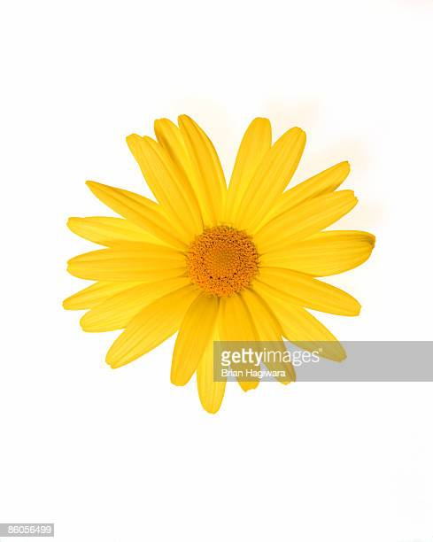 yellow gerber daisy - daisy stock pictures, royalty-free photos & images