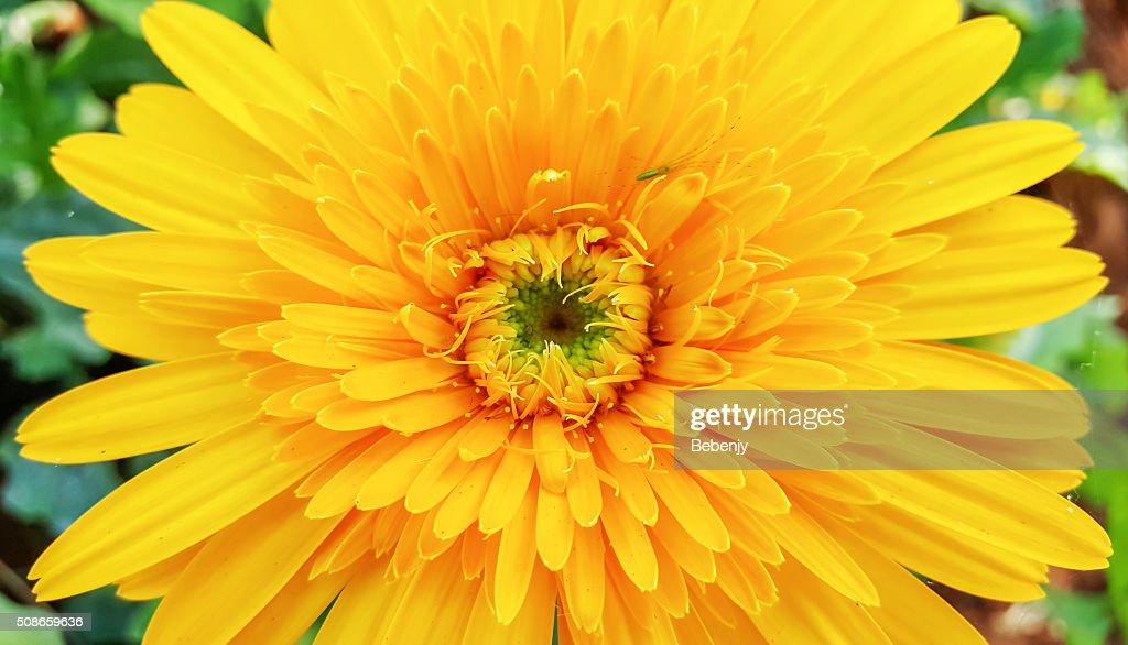 yellow gerbera in the garden. : Stock Photo