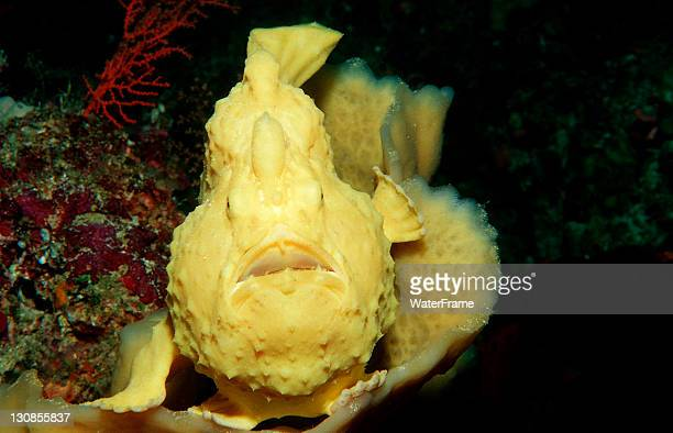 Yellow Giant Frogfish (Antennarius commersonii), Waktobi, Celebes Sea, Sulawesi, Indonesia