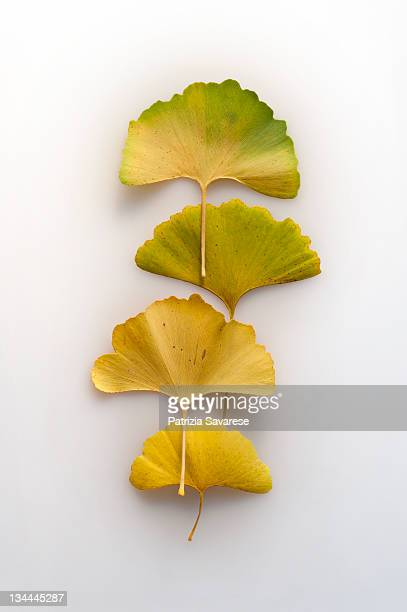 Yellow gingko biloba leaves