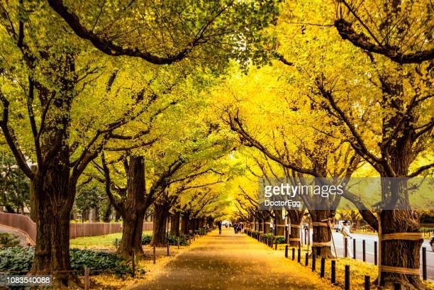 yellow gingko trees tunnel in autumn at meiji jingue gien gingko avenue, tokyo, japan - アベニュー ストックフォトと画像