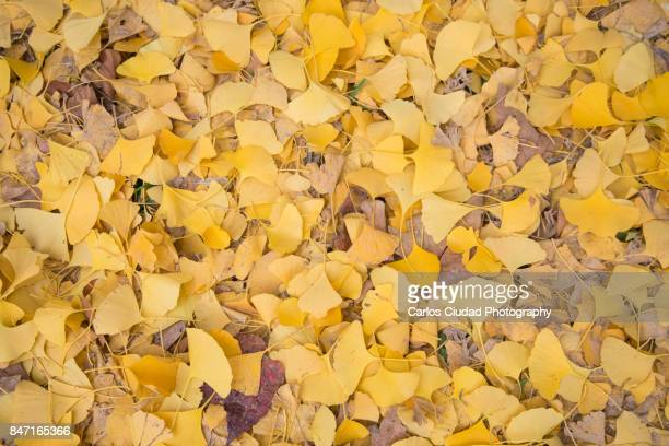 Yellow Ginkgo biloba leaves on the ground during autumn