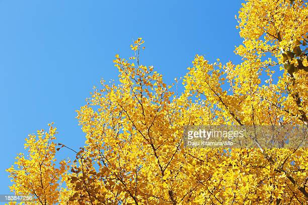 Yellow Ginkgo leaves