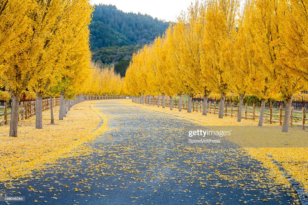 Yellow Ginkgo trees  on road lane in Napa Valley, California : Stock Photo