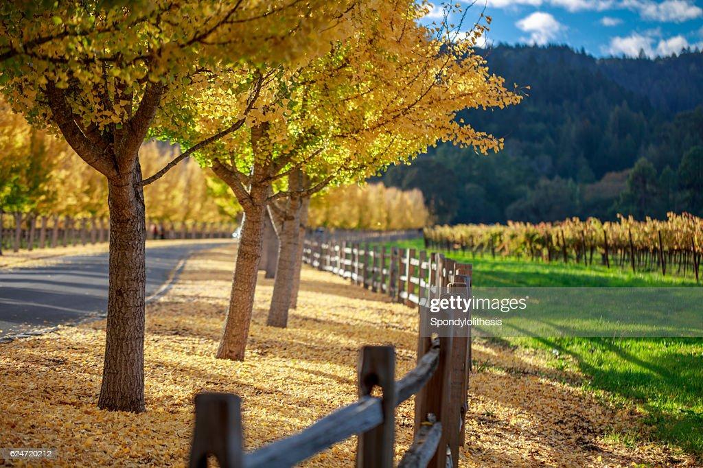 Yellow Ginkgo trees  on road lane in Napa Valley, California : Stock Photo