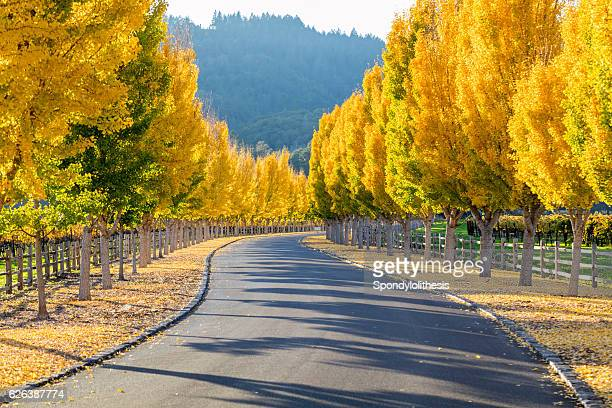 yellow ginkgo trees  on road lane in napa valley, california - sonoma county stock pictures, royalty-free photos & images