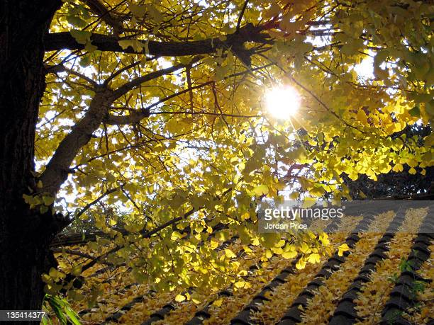 Yellow ginko leaves on Japanese roof