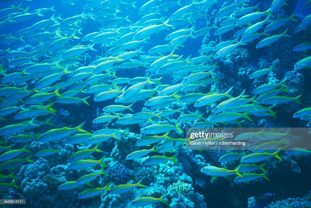 Yellow Goatfish, Mulloidichthys Martinicus, in the Red Sea, Hurgada, Egypt : Foto de stock