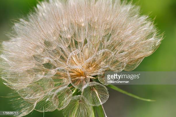 Yellow Goats Beard Seed Head