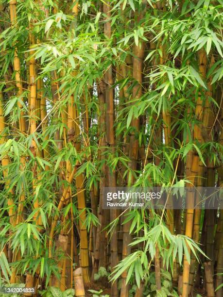yellow golden  bamboo plant standing tall in full majesty . bambusa vulgaris. poaceae family(grass family). - ornamental plant stock pictures, royalty-free photos & images
