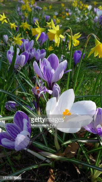 yellow golden wild daffodils narcissus (narcissus pseudonarcissus) and crocus vernus. - daffodils stock pictures, royalty-free photos & images