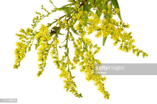 yellow goldenrod flowers isolated on white - goldenrod stock pictures, royalty-free photos & images
