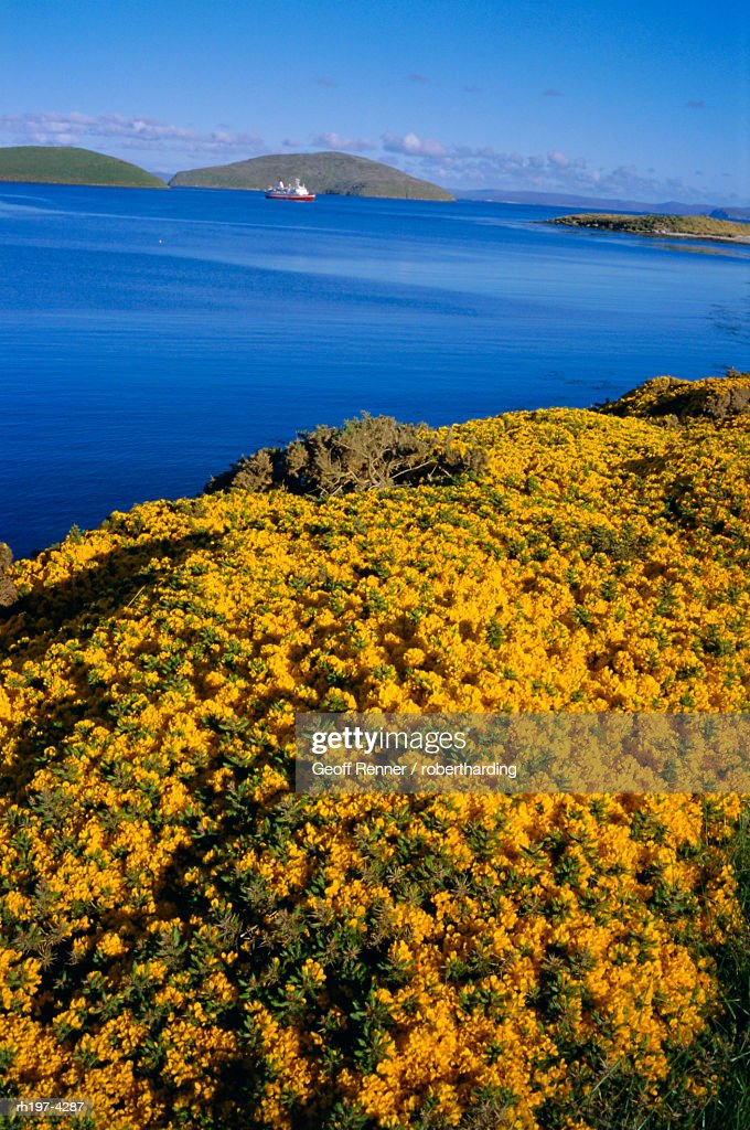 Yellow gorse bushes (ulex europea), New Island, West Falkland, Falkland Islands : Stockfoto