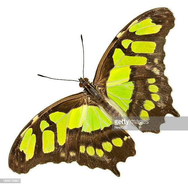 yellow green butterfly on white, malachite - malachite stock pictures, royalty-free photos & images