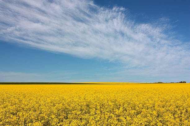 Yellow green canola field and blue sky