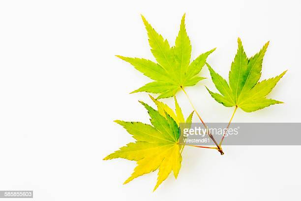 Yellow green fullmoon maple, Acer japonicum, leaves