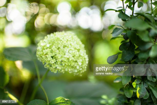 yellow green hydrangea - kelly green stock pictures, royalty-free photos & images