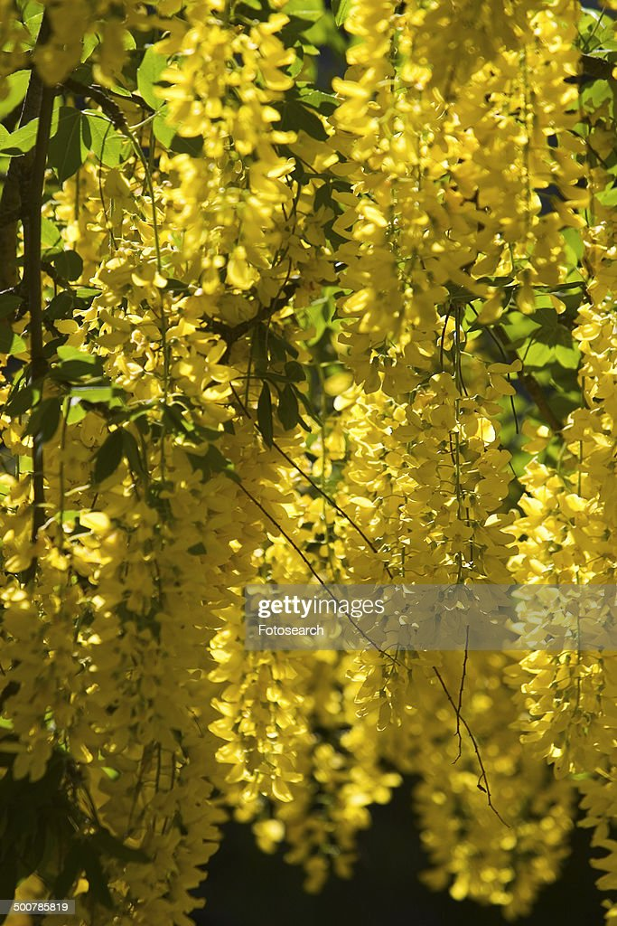 Yellow Hanging Flowers Stock Photo Getty Images