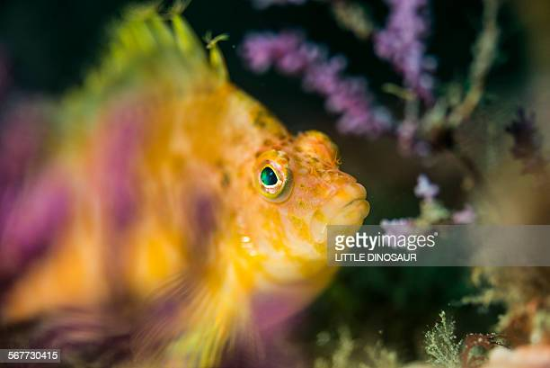 yellow hawkfish - hawkfish stock pictures, royalty-free photos & images