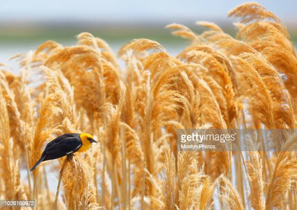 yellow headed blackbird alertness - reed grass family stock photos and pictures