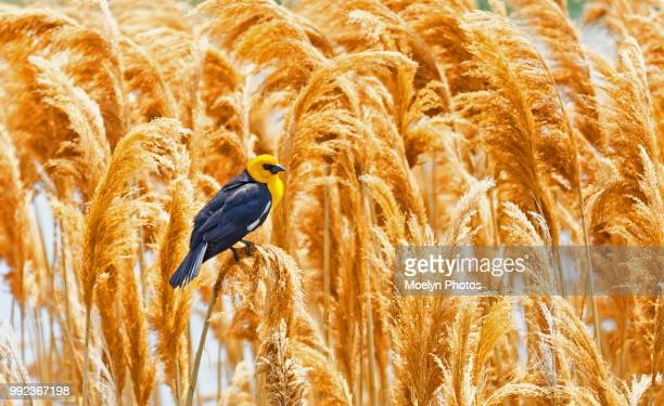 Yellow Headed Blackbird on Reeds