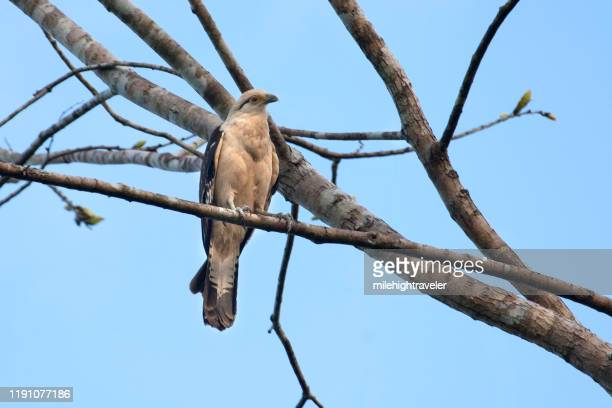 yellow headed cara cara falcon perched over amazon river peru - milehightraveler stock pictures, royalty-free photos & images