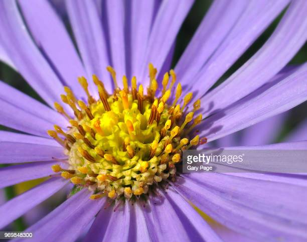 Purple flower yellow center stock photos and pictures getty images yellow heart mightylinksfo