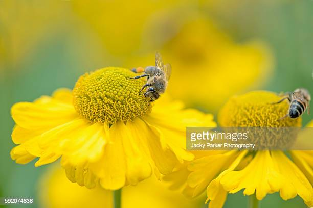 Yellow Helenium flowers with bees