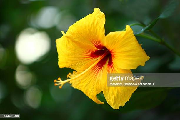 yellow hibiscus flower - chofu stock pictures, royalty-free photos & images