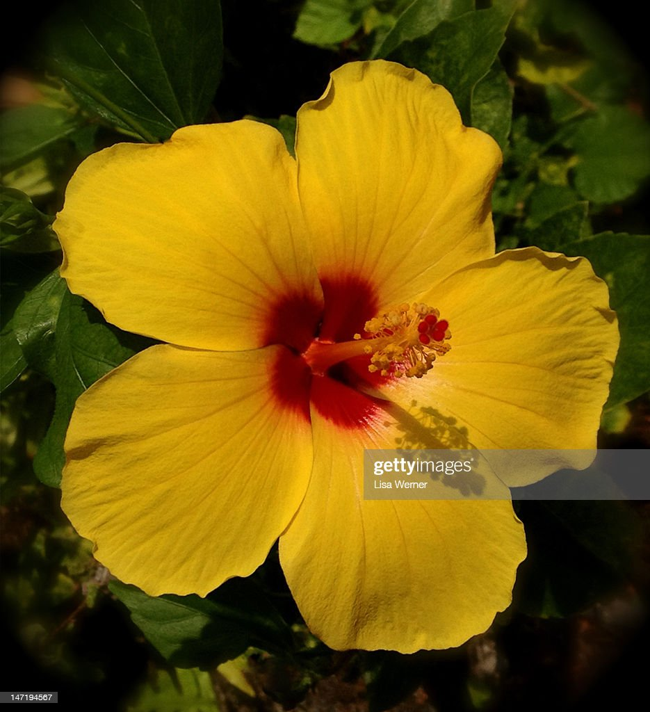 Yellow Hibiscus Flower With Red Center Stock Photo Getty Images