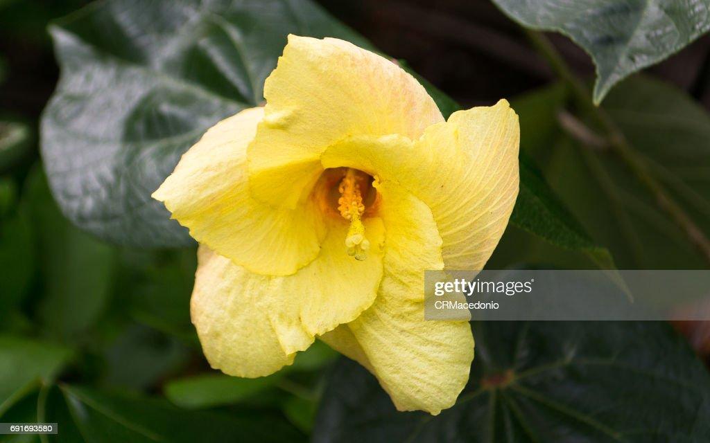 Yellow hibiscus. Nature of flowers. : Stock Photo