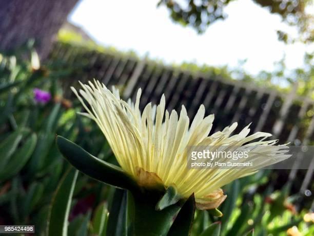 yellow ice plant flower with thin petals, low angle view - inclinando se - fotografias e filmes do acervo