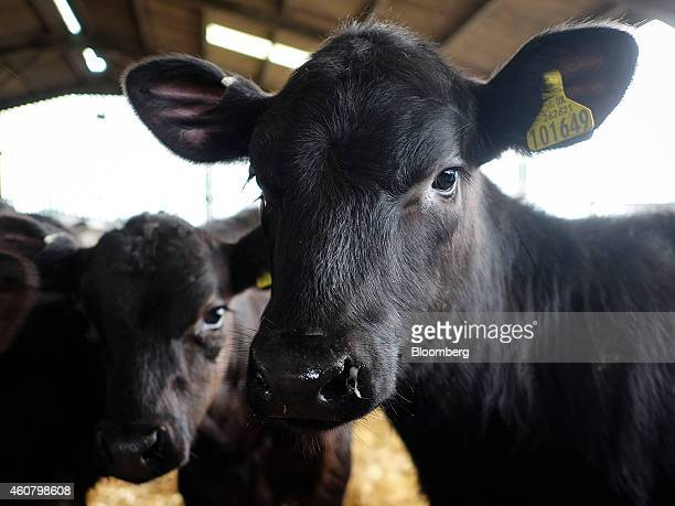 A yellow identification and registration tag containing the UK crown logo country code herdmark and individual animal number is seen on the ear of a...
