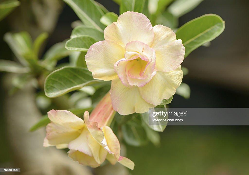 Gelbe Impala Seerose Blume auf Hintergrund : Stock-Foto