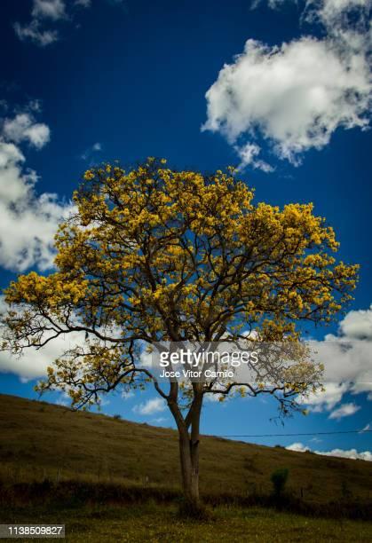 yellow ipê - ハンドロアンサス属 ストックフォトと画像