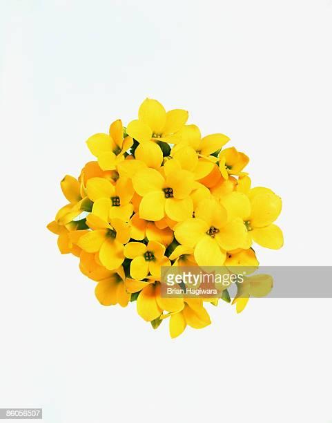 yellow kalanchoe flower - jaune photos et images de collection