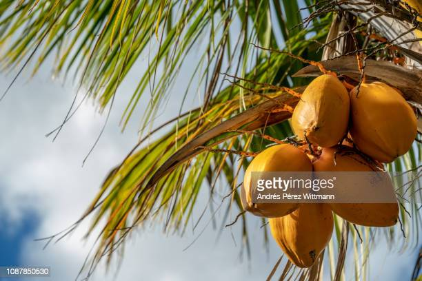 yellow king coconut (cocos nucifera) with - coconut palm tree stock pictures, royalty-free photos & images