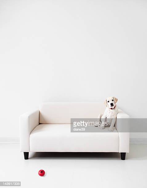 Yellow lab in a white room