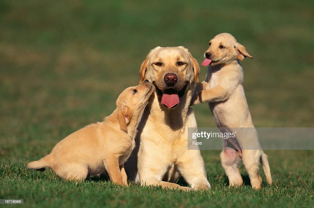 Yellow Lab Mother and Puppies : Stock Photo