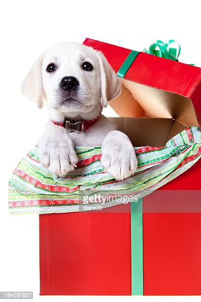 Yellow lab puppy in a Christmas box