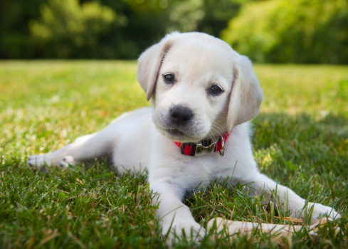 Yellow lab puppy outdoors 184129038